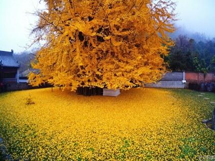 ginkgo biloba automne