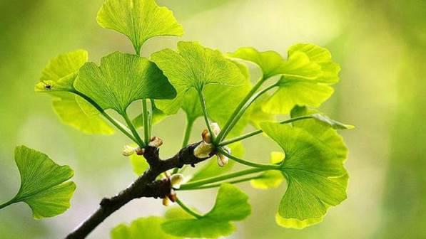 feuilles ginkgo biloba