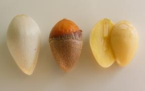 fruits ginko biloba