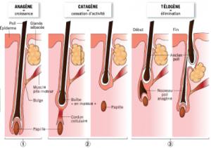 cycle de vie du cheveux