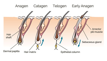 les différents stades de la croissance des cheveux