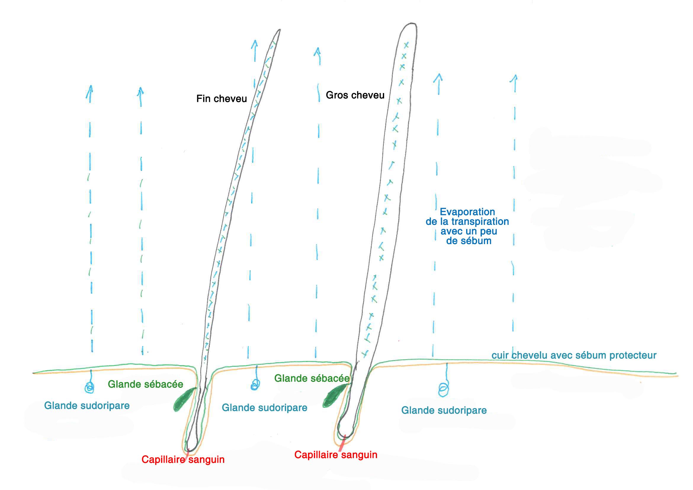 schéma transpiration cuir chevelu